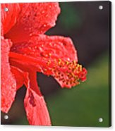 Close Up Of A Red Hibiscus Acrylic Print