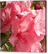 Close-up Of Pink Flowers In Bloom Acrylic Print
