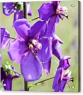 Close Up Of Verbascum Phoeniceum Acrylic Print