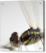 Close Up Shoot Of A Anisoptera Dragonfly Acrylic Print
