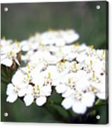 Close-ups Of A White Meadow Flower Acrylic Print