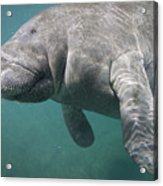 Close View Of A Manatee Acrylic Print by Nick Norman