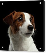 Closeup Portrait Of Jack Russell Terrier Dog On Black Acrylic Print