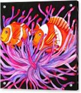 Clownfish And Sea Anenome  Acrylic Print