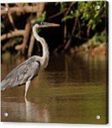 Cocoi Heron Acrylic Print