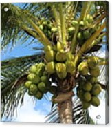 Coconut Tree Acrylic Print