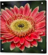 Colorful Daisy Acrylic Print