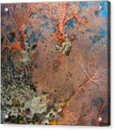 Colourful Sea Fan With Crinoid, Papua Acrylic Print