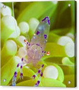Commensal Shrimp On Green Anemone Acrylic Print by Steve Jones