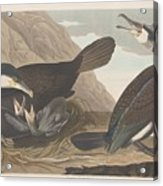 Common Cormorant Acrylic Print