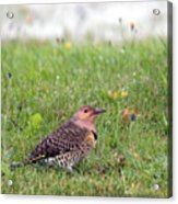 Common Flicker Acrylic Print