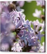 Common Purple Lilac Acrylic Print