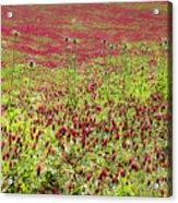 common sainfoin Onobrychis viciifolia Acrylic Print