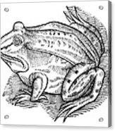 Common Toad Acrylic Print