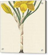 Common Yellow Crocus Acrylic Print