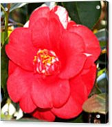 Coral Camellia At Pilgrim Place In Claremont-california  Acrylic Print
