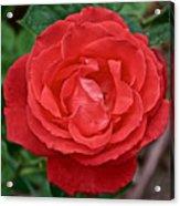Coral Rose At Pilgrim Place In Claremont-california Acrylic Print