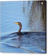 Cormorant In The Marsh Acrylic Print