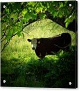 Cow Acrylic Print