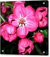 Crab Apple Blossoms Acrylic Print