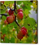 Crab Apples Acrylic Print