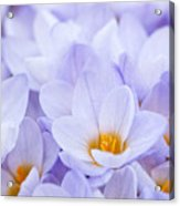 Crocus Flowers Acrylic Print