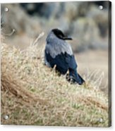 Crow In The Gras Acrylic Print