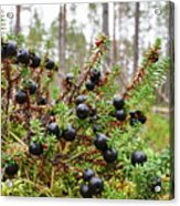 Crowberry Acrylic Print