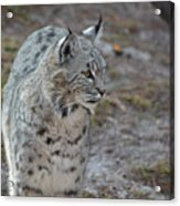Curious Wandering Bobcat Acrylic Print