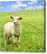 Cute Young Sheep Acrylic Print
