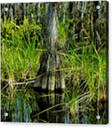 Cypress Tree Acrylic Print