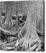 Cypress Trees I V Acrylic Print
