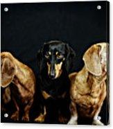 Dachshund Pack  Acrylic Print