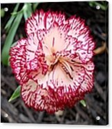 Dainty Dianthus Acrylic Print