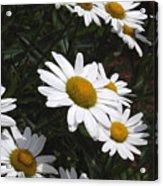 Daisy Day Acrylic Print