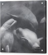 Dancing Belugas  Acrylic Print