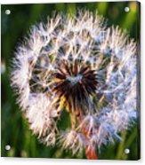 Dandelion In Nature Acrylic Print