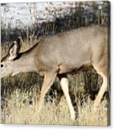 Deer In Bryce Canyon National Park Acrylic Print