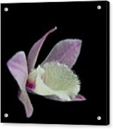 Dendrobium Orchid Acrylic Print
