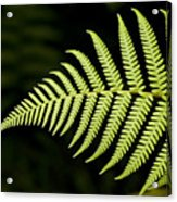 Detail Of Asian Rain Forest Ferns Acrylic Print