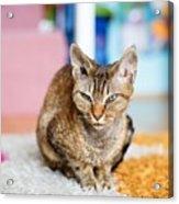 Devon Rex Purebred Domestic Cat Acrylic Print