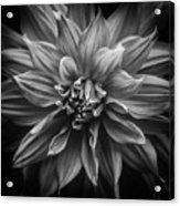 Dhalia Acrylic Print