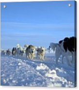 Dogsledge, Northern Greenland Acrylic Print by Louise Murray