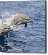 Dolphins Leaping Acrylic Print