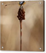Dragonfly On Reed Acrylic Print