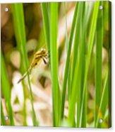 Dragonfly On Reed Leaf Acrylic Print