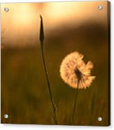 Dream Flower Acrylic Print
