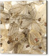 Dried Fruits Of The Cape Gooseberry Acrylic Print