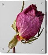Dried Rose 2 Acrylic Print
