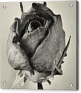 Dried Rose Acrylic Print